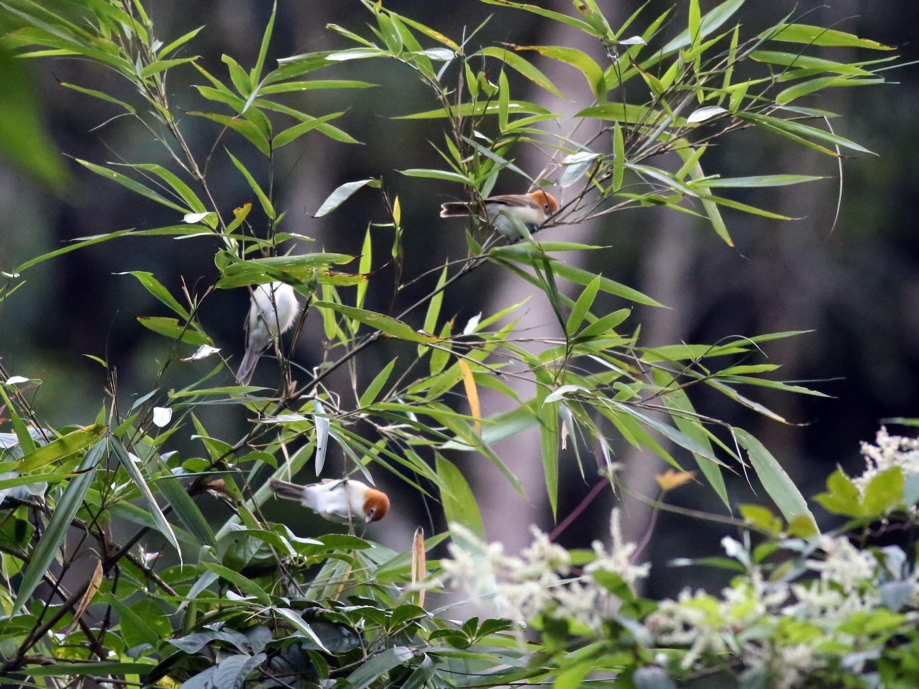 White-breasted Parrotbill - Peter Hosner