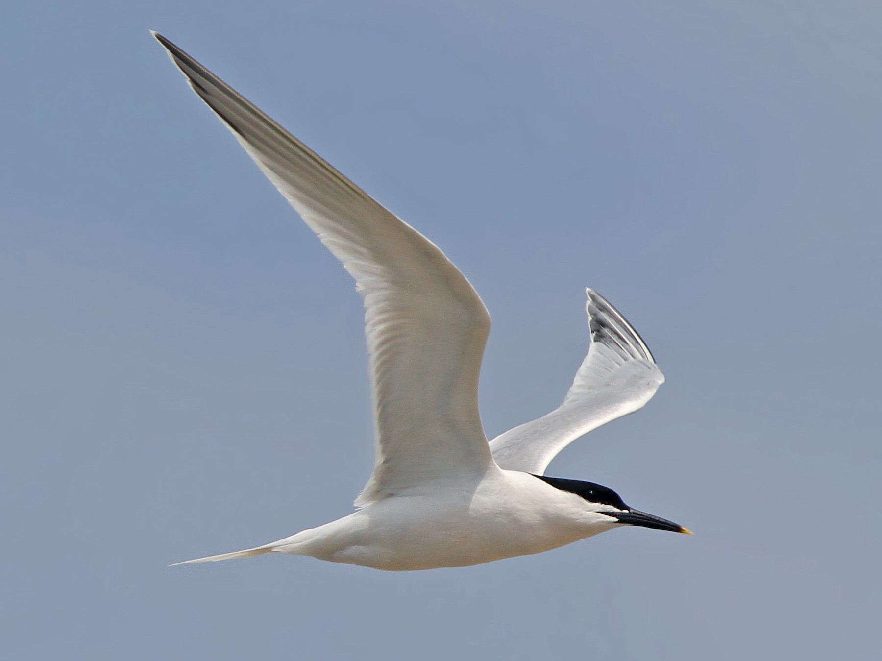 Sandwich Tern - Christoph Moning