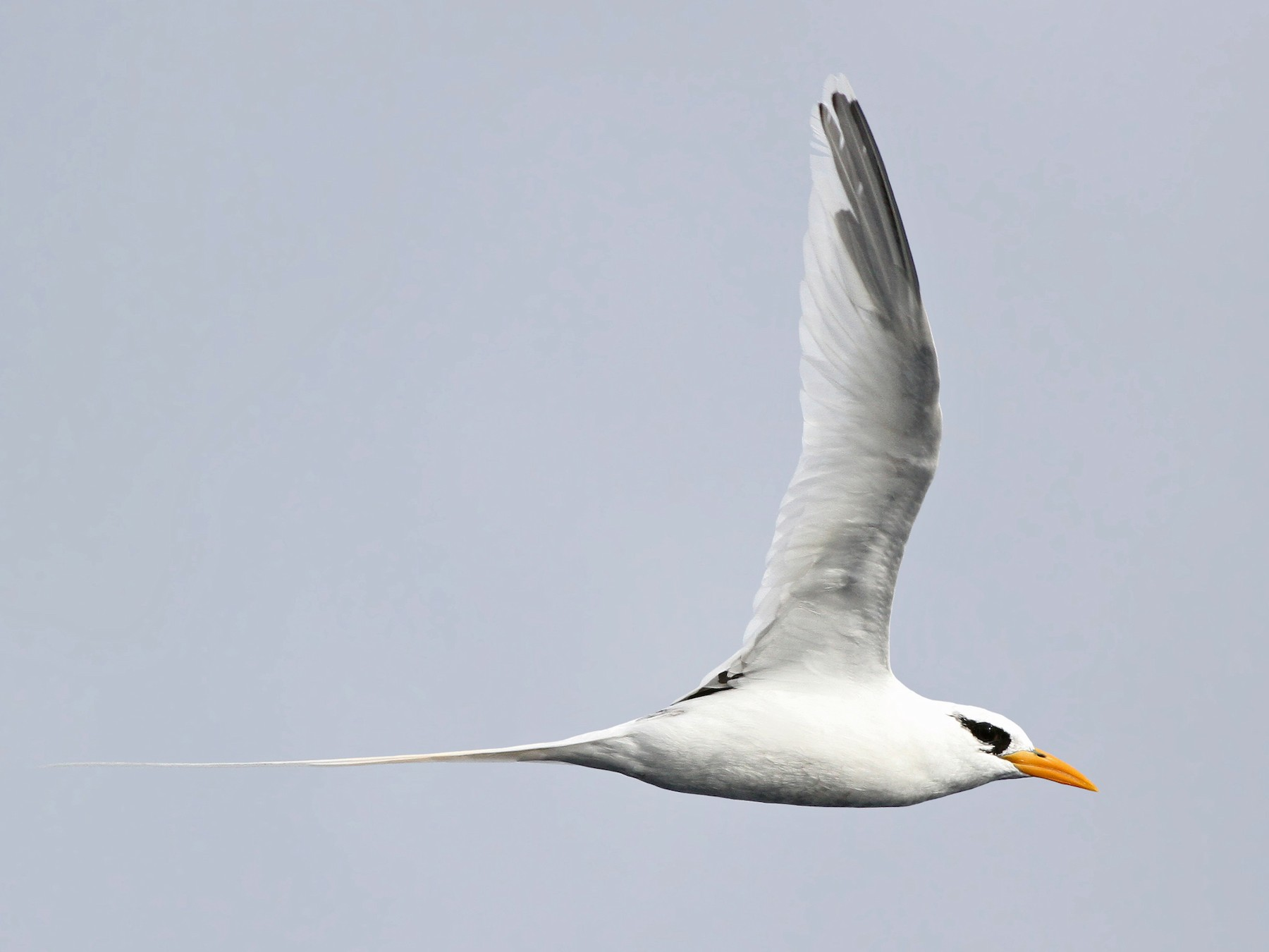 White-tailed Tropicbird - Jeremiah Trimble