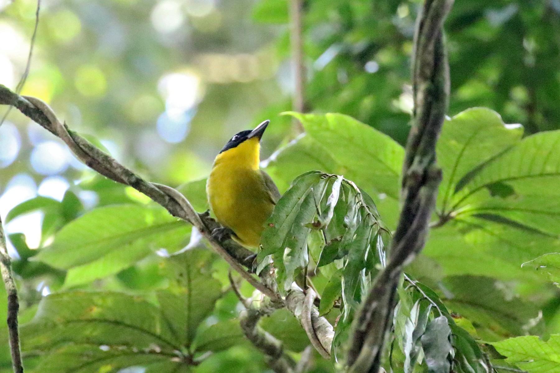 Uluguru Bushshrike - Charley Hesse TROPICAL BIRDING