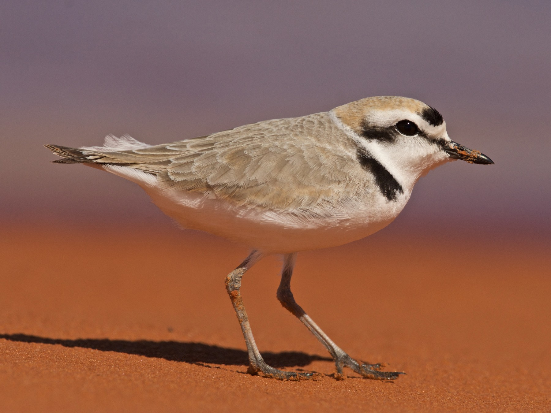 Snowy Plover - Mike Schijf
