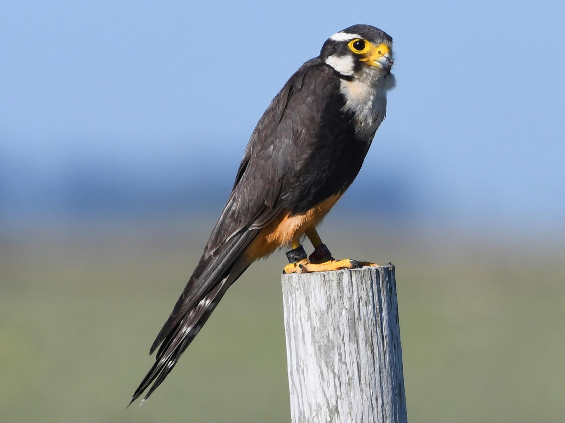 Aplomado Falcon - Bryan Calk