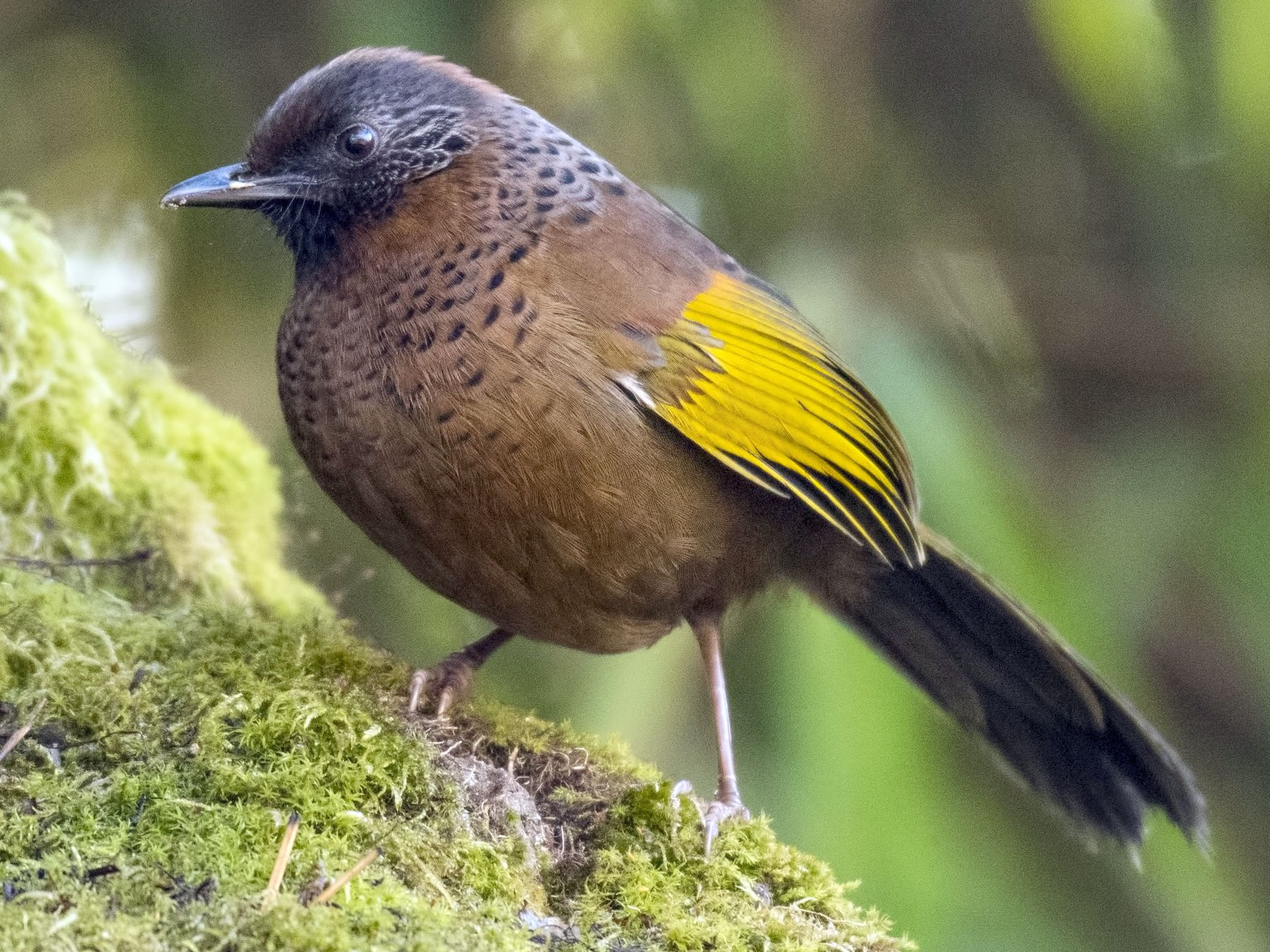 Chestnut-crowned Laughingthrush - Sommouli Sarkar