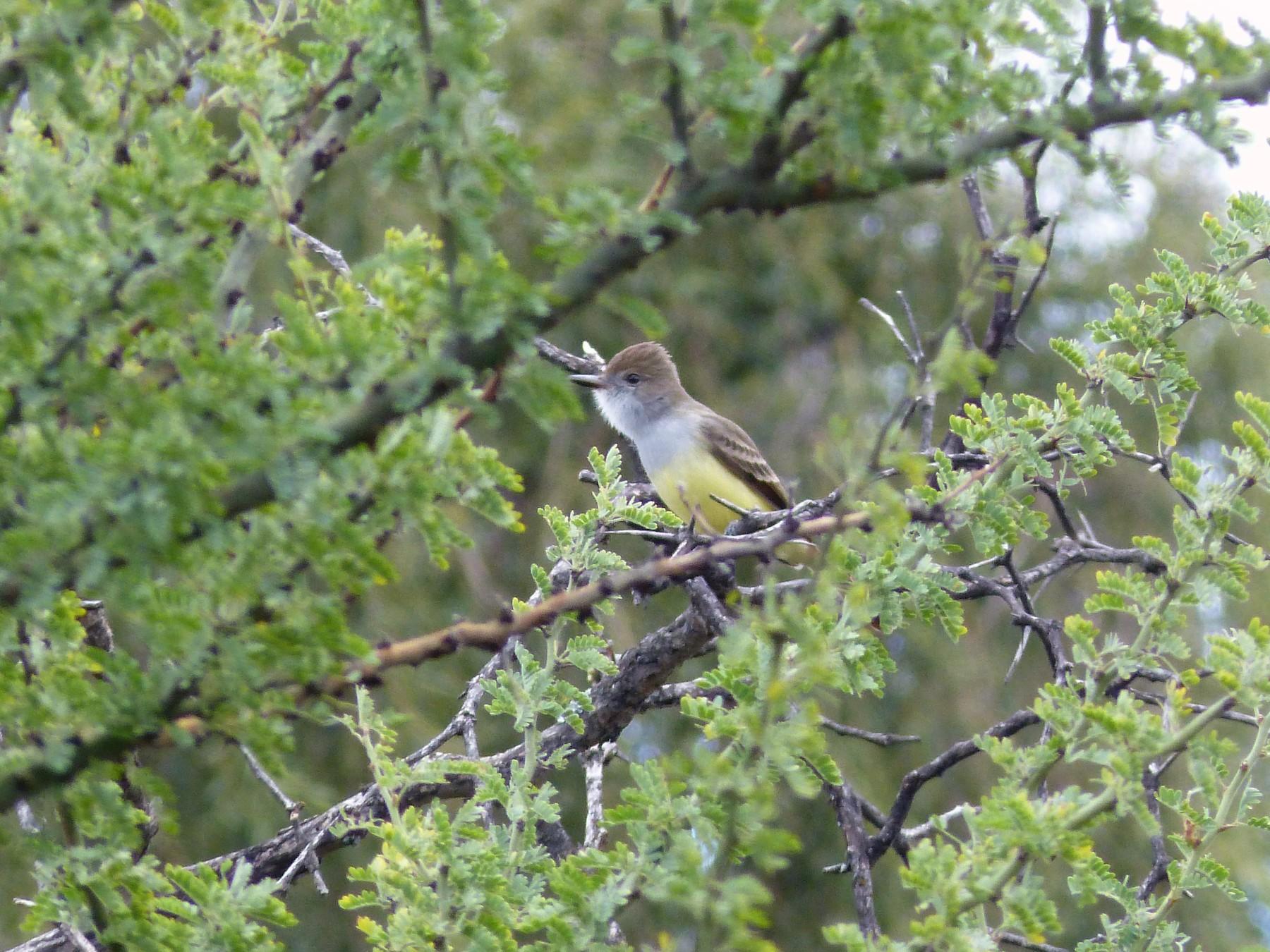 Brown-crested Flycatcher - Taller de Aves-UNC