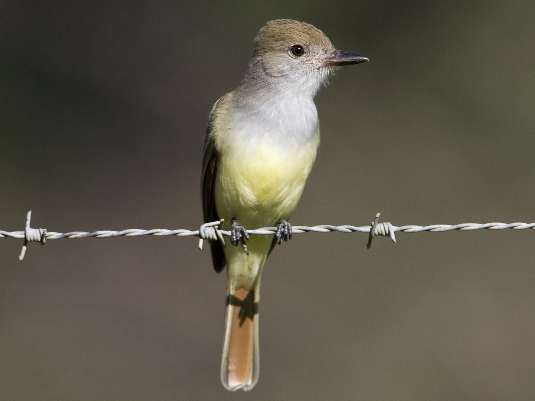 Brown-crested Flycatcher - Brian Sullivan