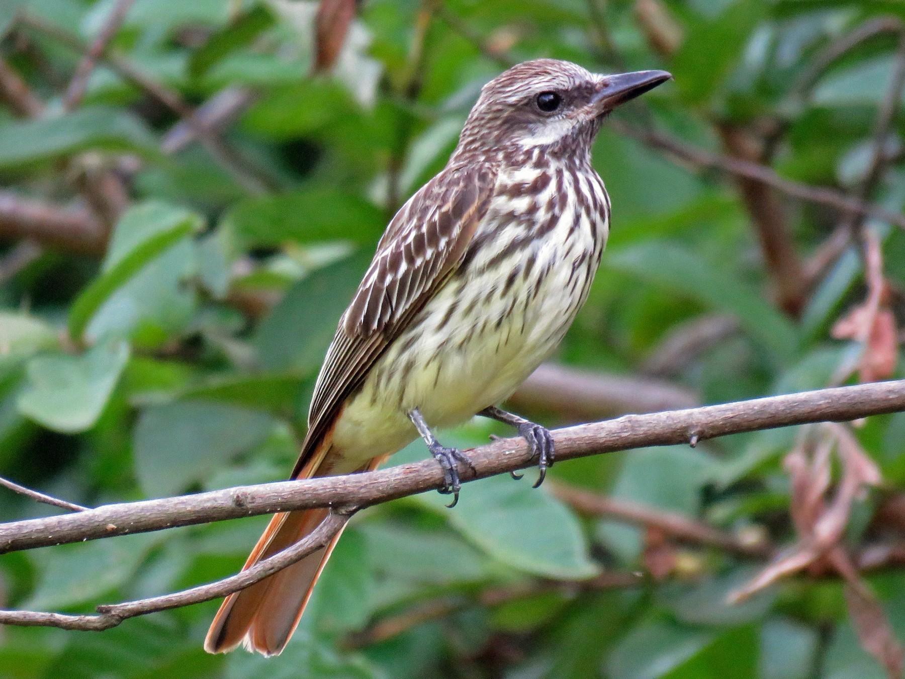 Sulphur-bellied Flycatcher - John van Dort