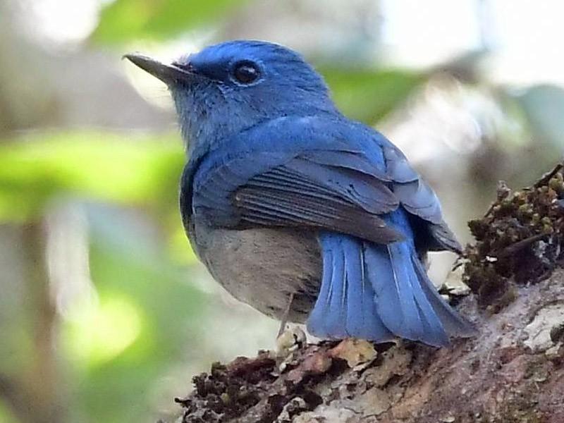 Pale Blue Flycatcher - Anonymous eBirder