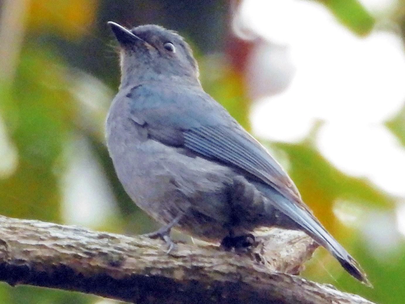 Pale Blue Flycatcher - Kalpesh Gaitonde