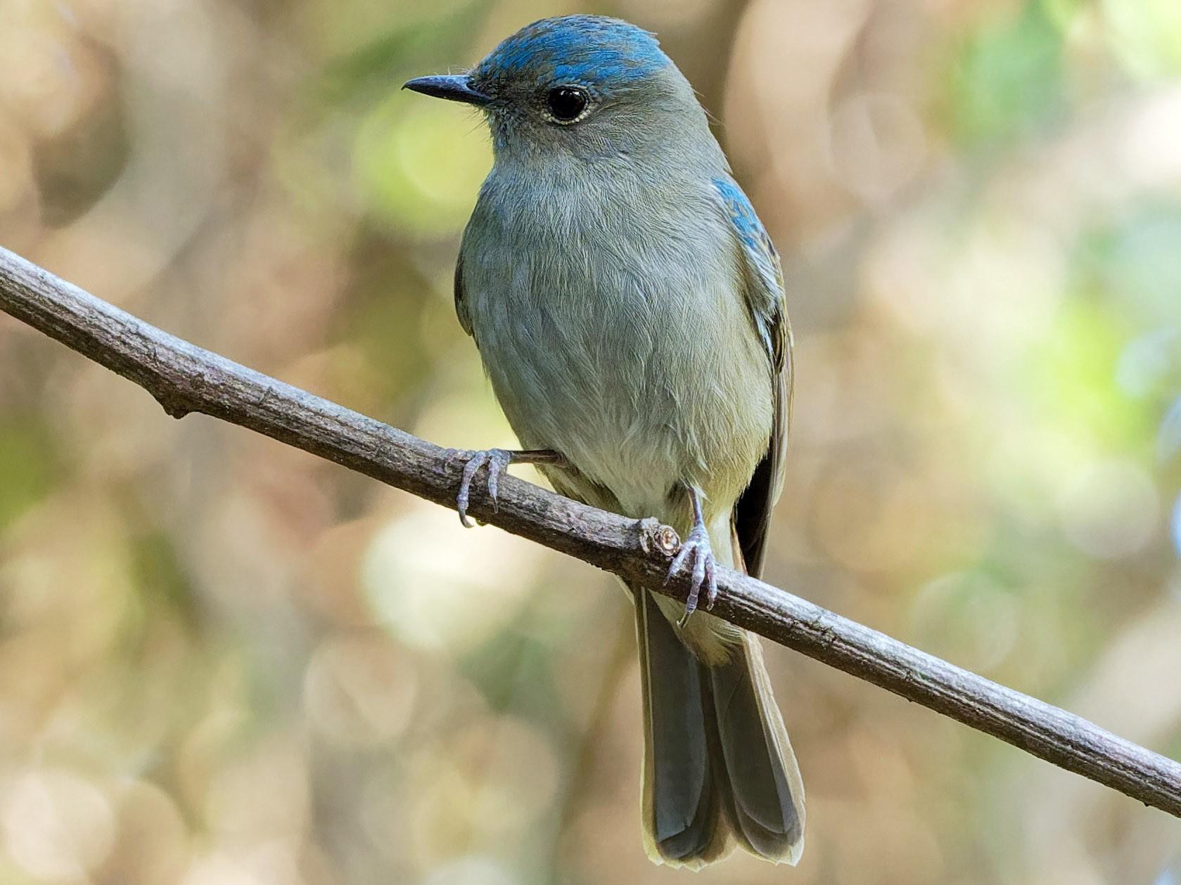 Pale Blue Flycatcher - Vincent Wang