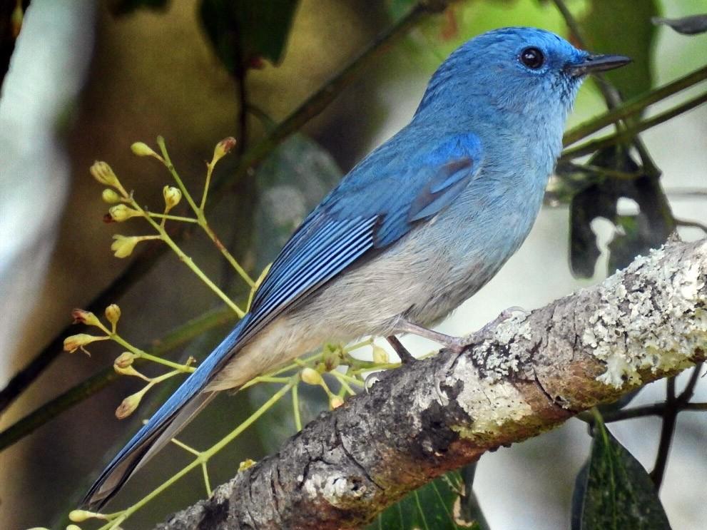 Pale Blue Flycatcher - Sandeep Ramz