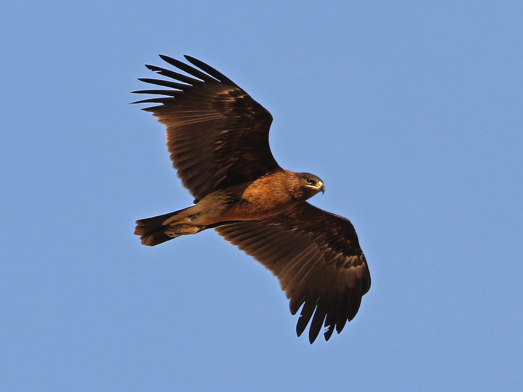 Greater Spotted Eagle - Christoph Moning