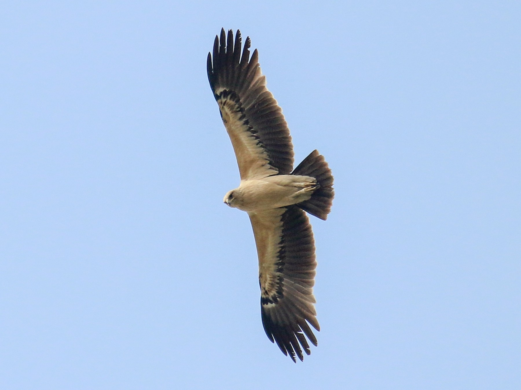 Greater Spotted Eagle - Tommy Pedersen