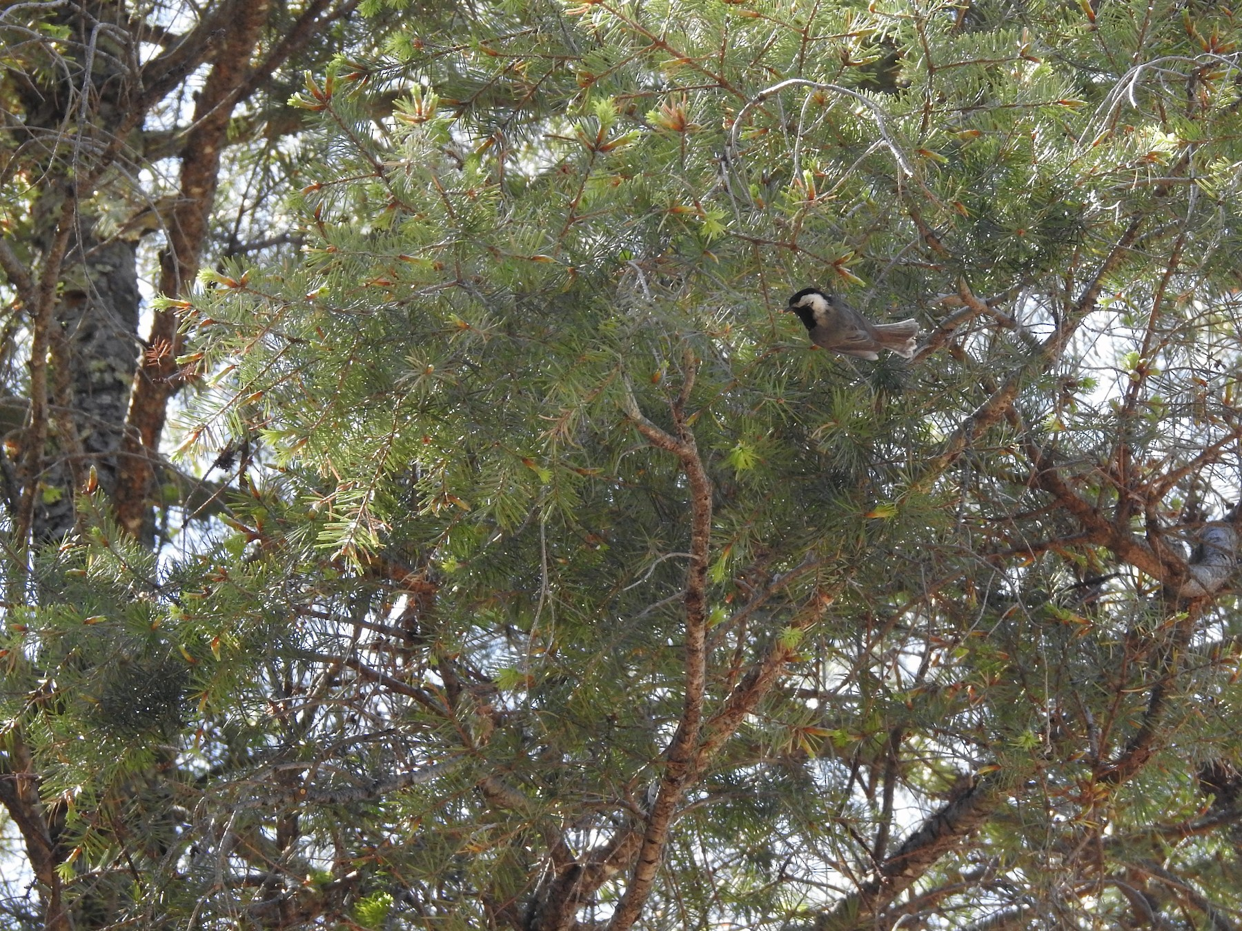 Mexican Chickadee - Judith Ellyson