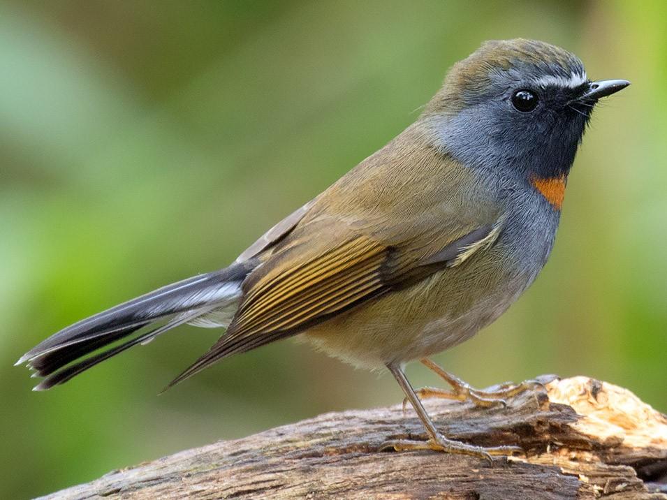 Rufous-gorgeted Flycatcher - Ayuwat Jearwattanakanok