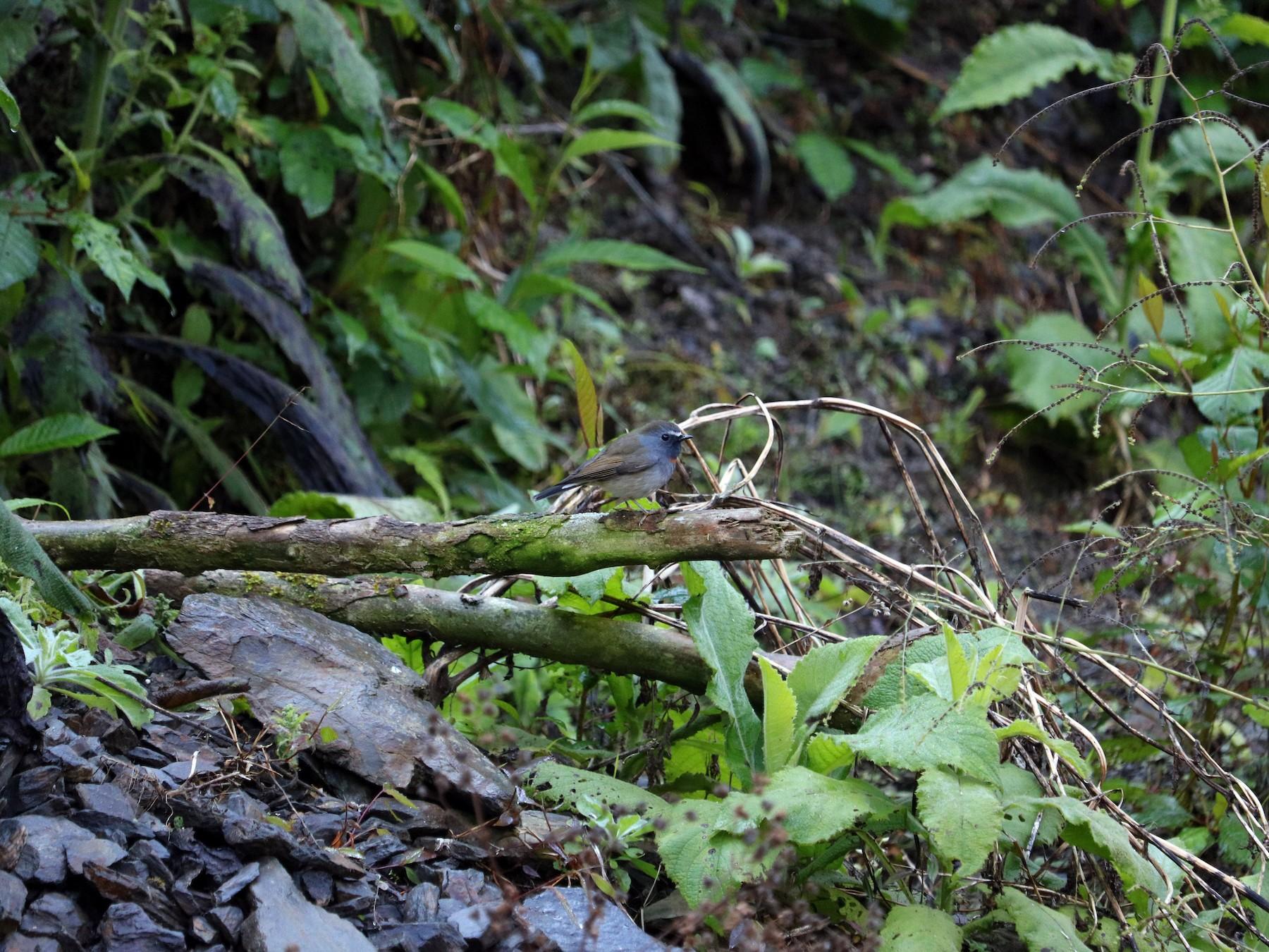 Rufous-gorgeted Flycatcher - Phuen tsho