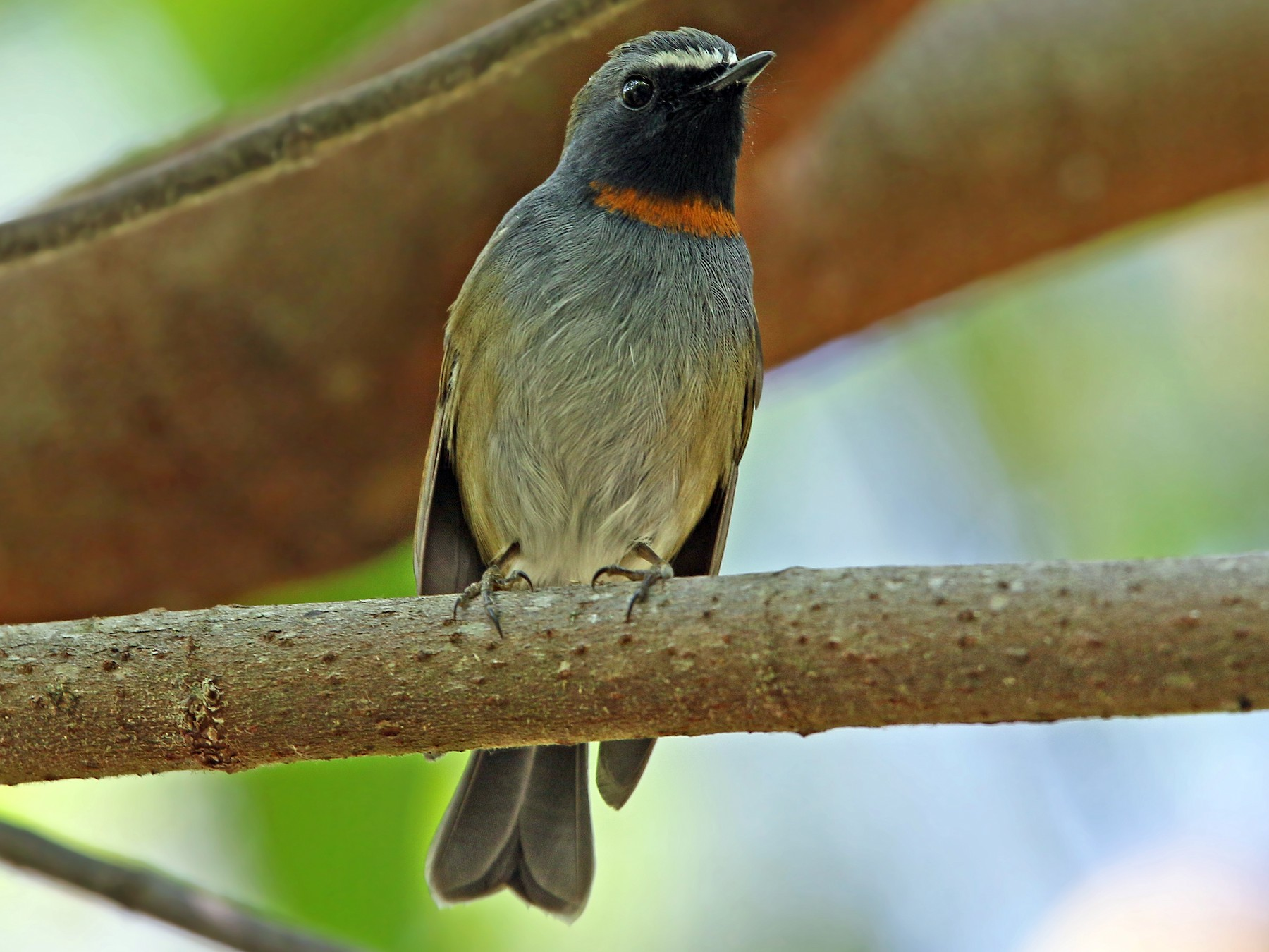 Rufous-gorgeted Flycatcher - Christoph Moning