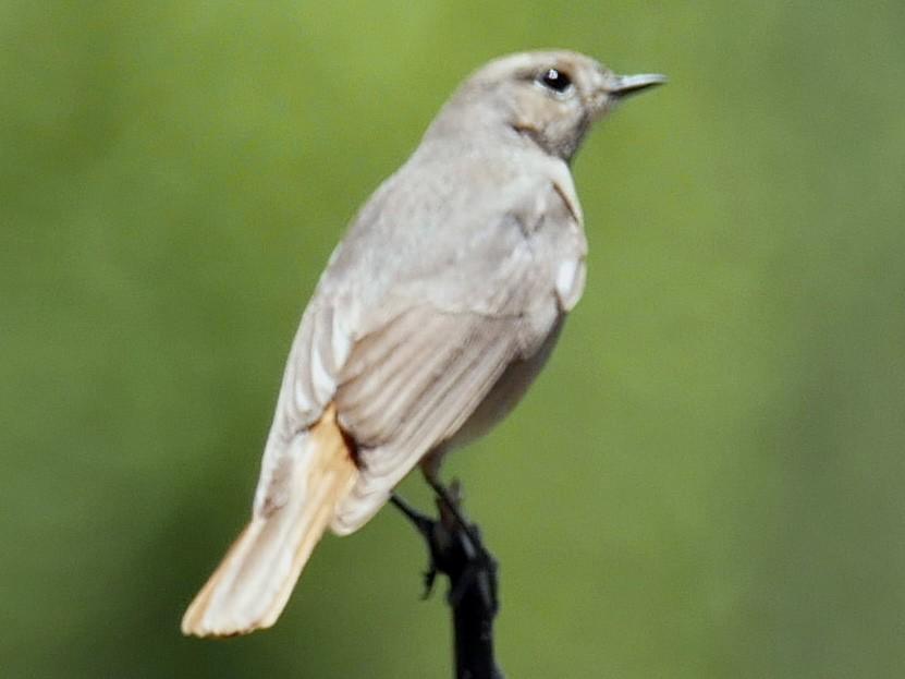 White-winged Redstart - Sandeep Biswas