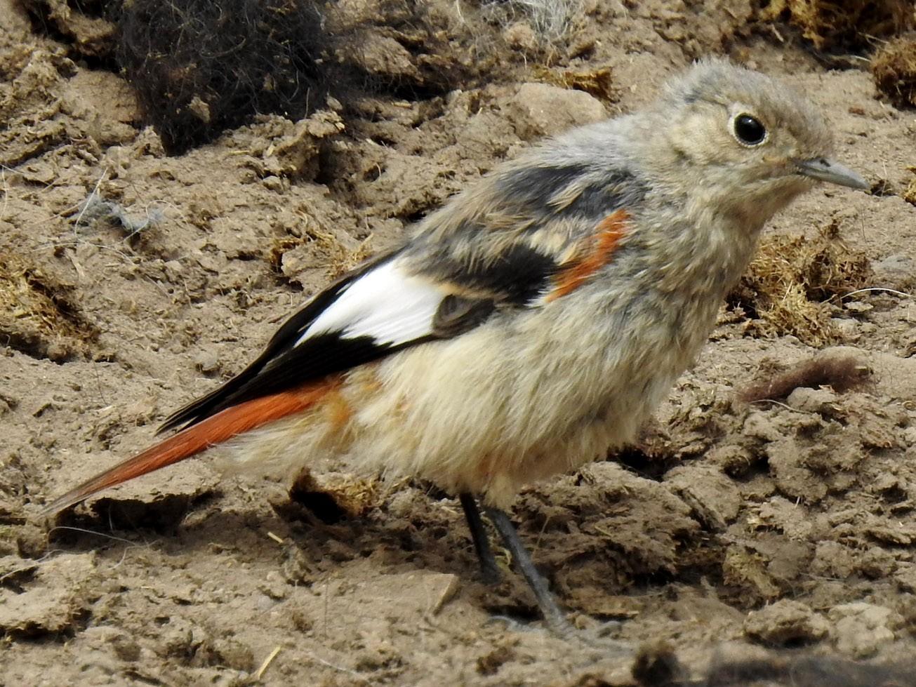 White-winged Redstart - Anonymous eBirder