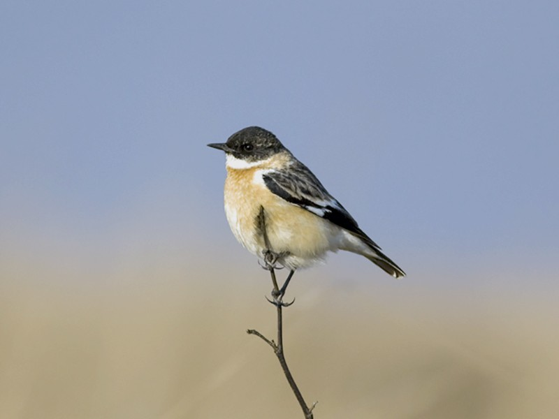 White-throated Bushchat - Raphael Lebrun