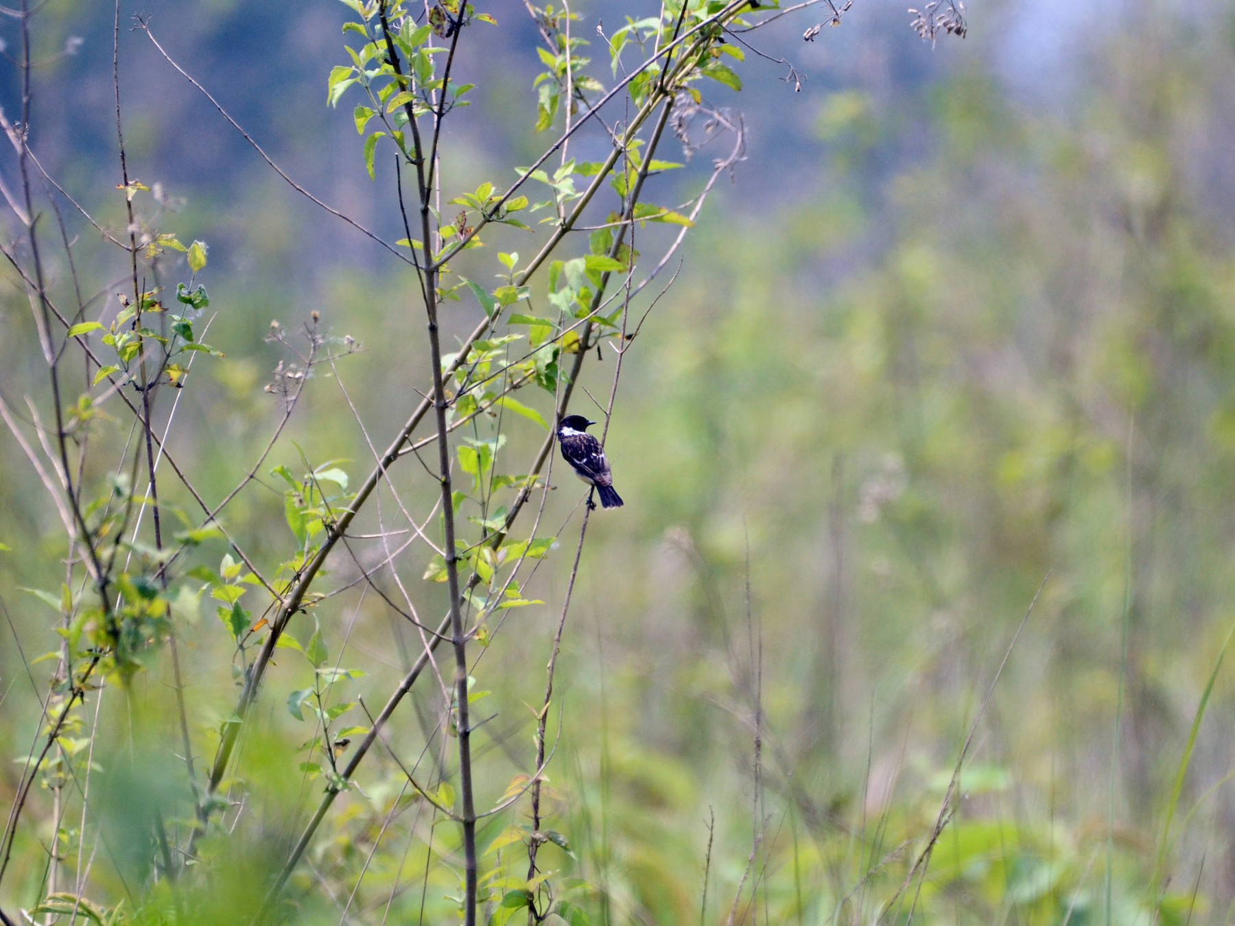 White-throated Bushchat - Pratiksha Kothule