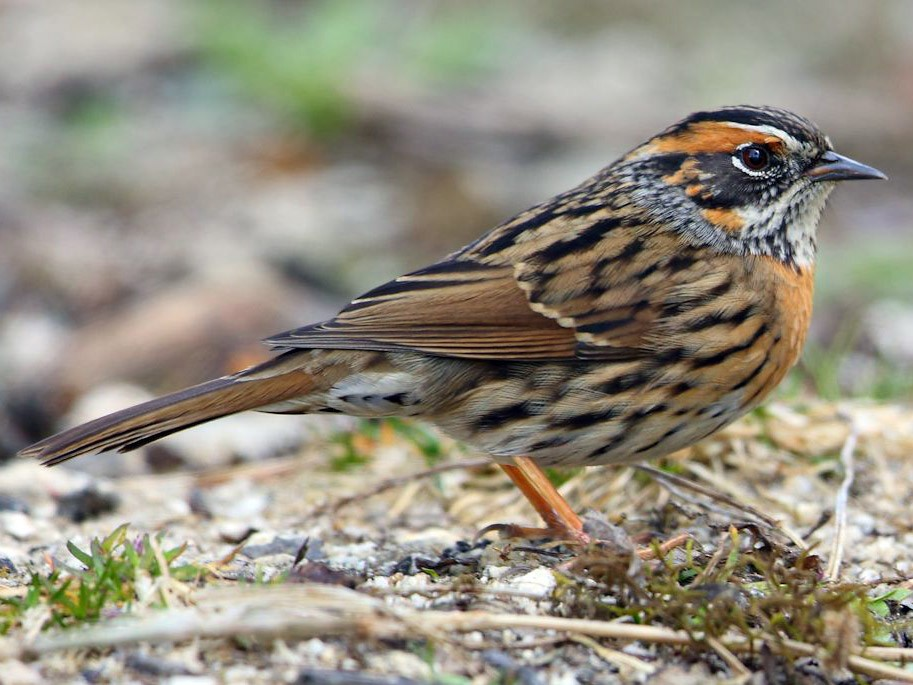Rufous-breasted Accentor - Albin Jacob