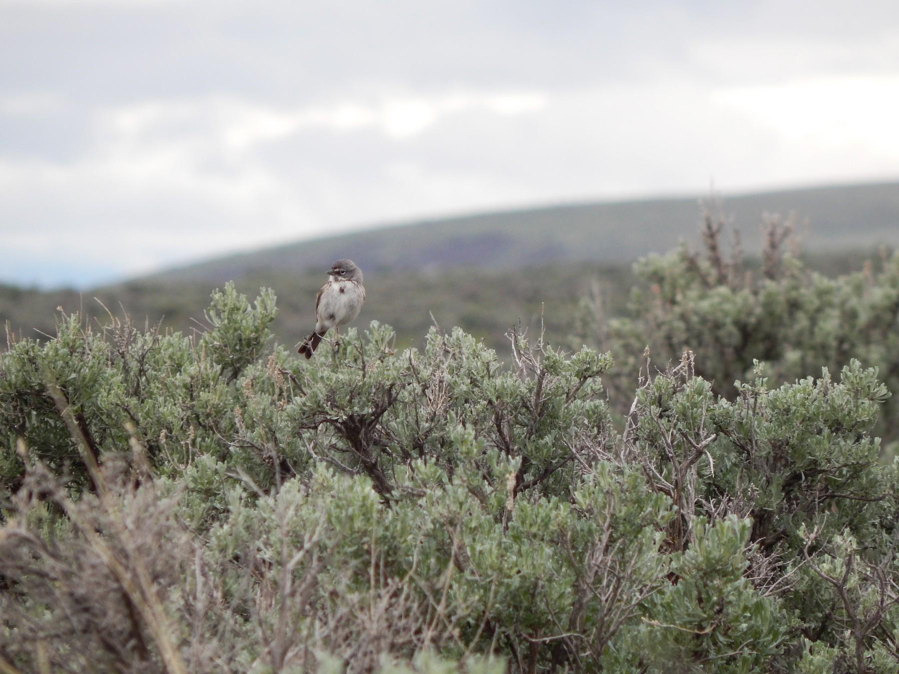 Sagebrush Sparrow - Austin Young