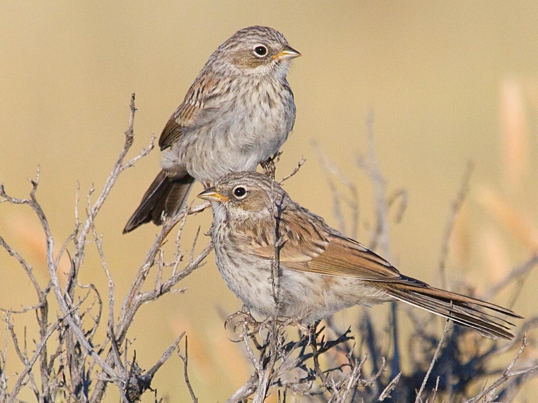 Sagebrush Sparrow - Karl Overman