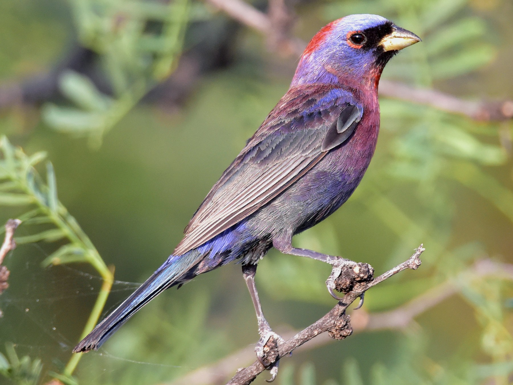 Varied Bunting - Curtis  McCamy