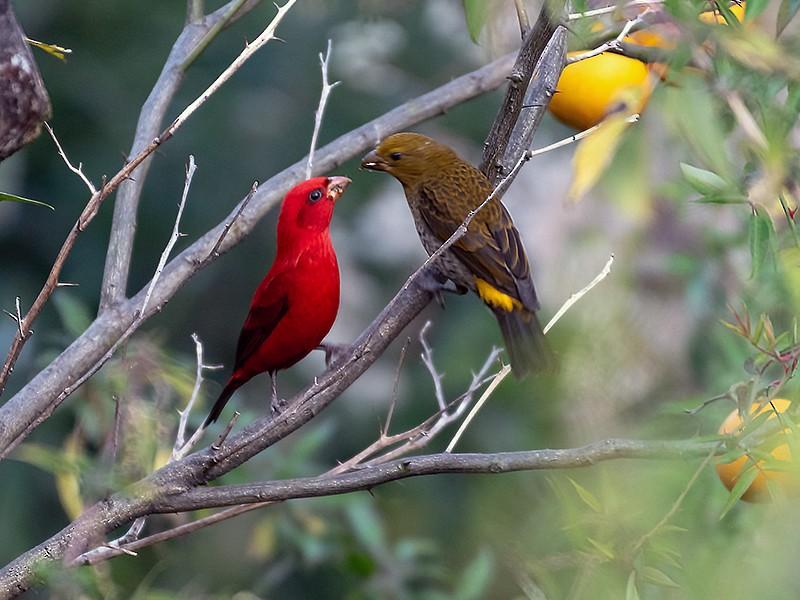Scarlet Finch - Dilip C Gupta