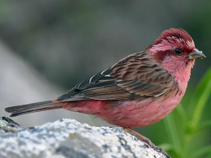 Pink-browed Rosefinch - C. Abhinav