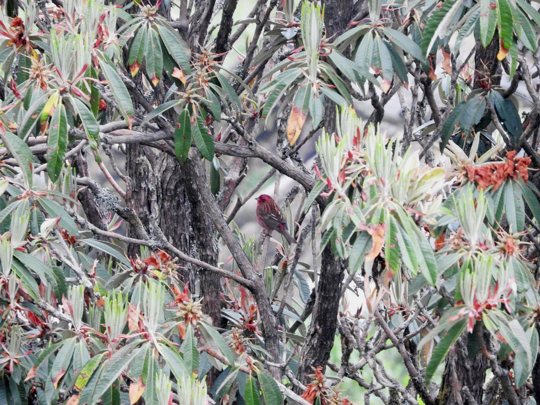 Pink-browed Rosefinch - Subbu Subramanya