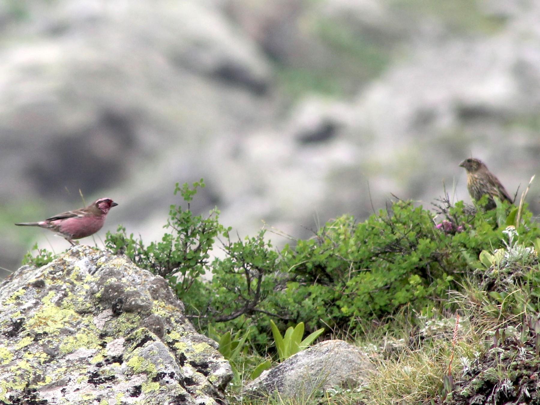 Himalayan White-browed Rosefinch - Suresh  Rana