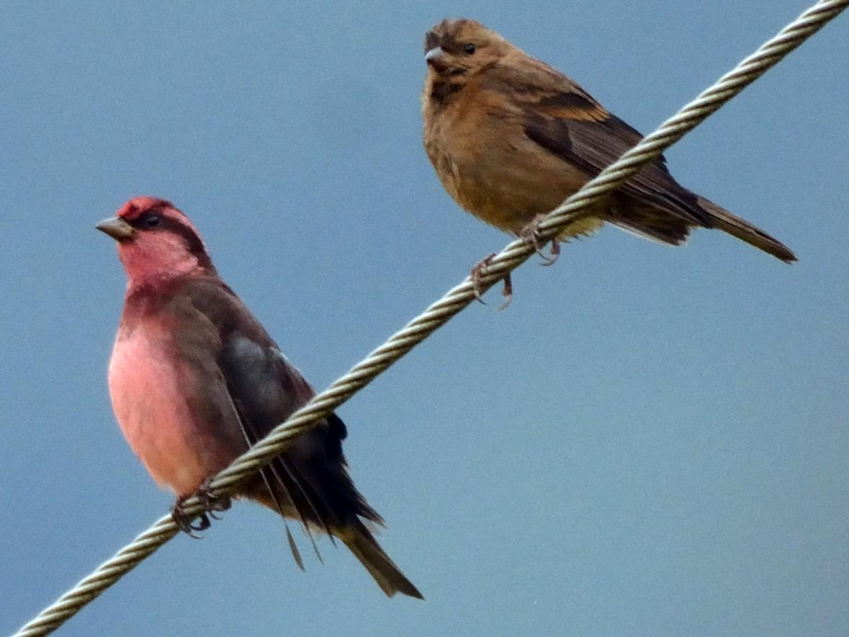 Dark-breasted Rosefinch - Andrew Schopieray