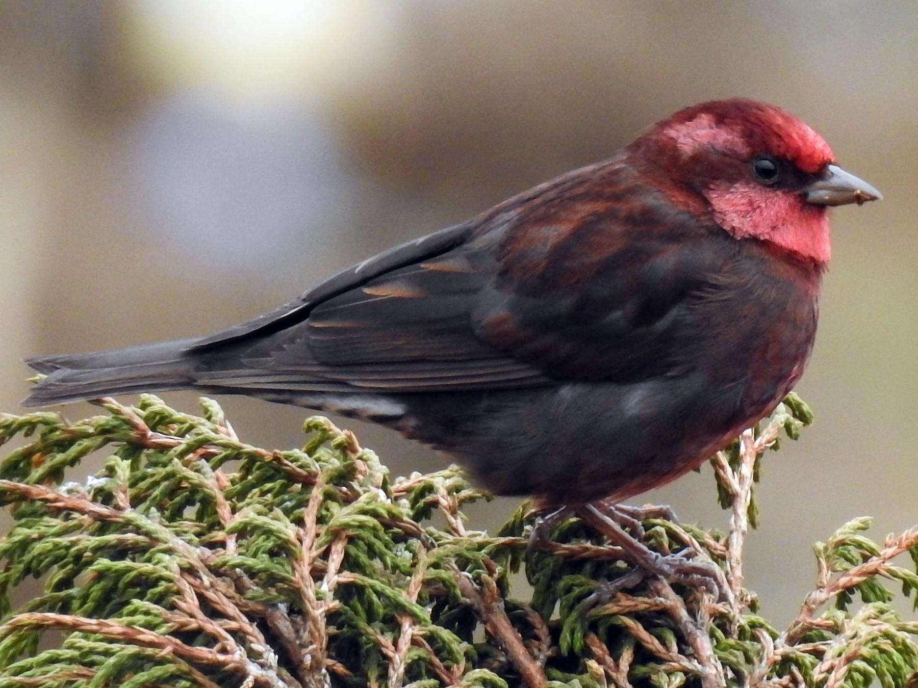 Dark-breasted Rosefinch - Sahana M