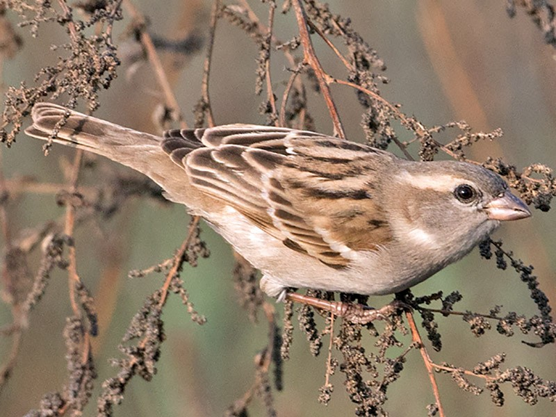 Sind Sparrow - Sam Woods