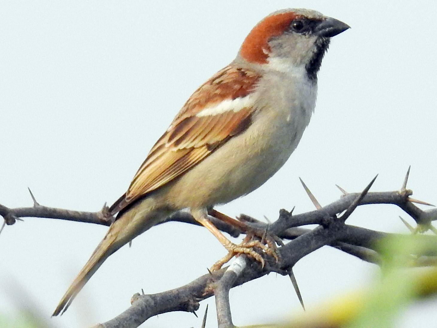 Sind Sparrow - Madhu Gupta