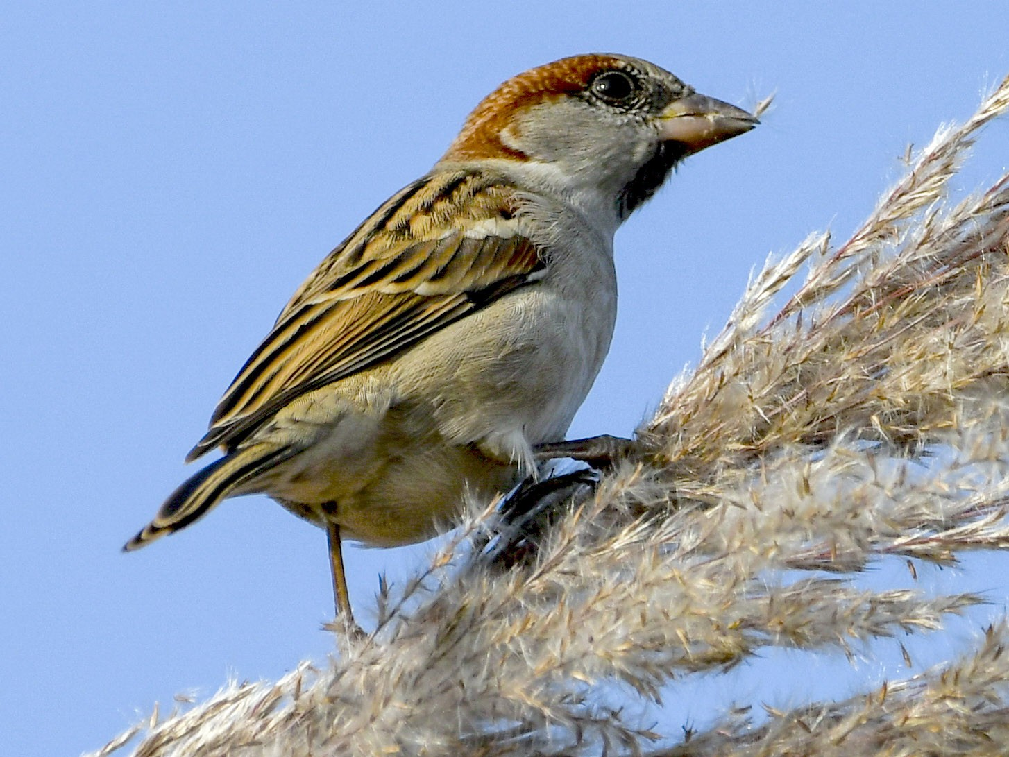 Sind Sparrow - Saurabh Sawant
