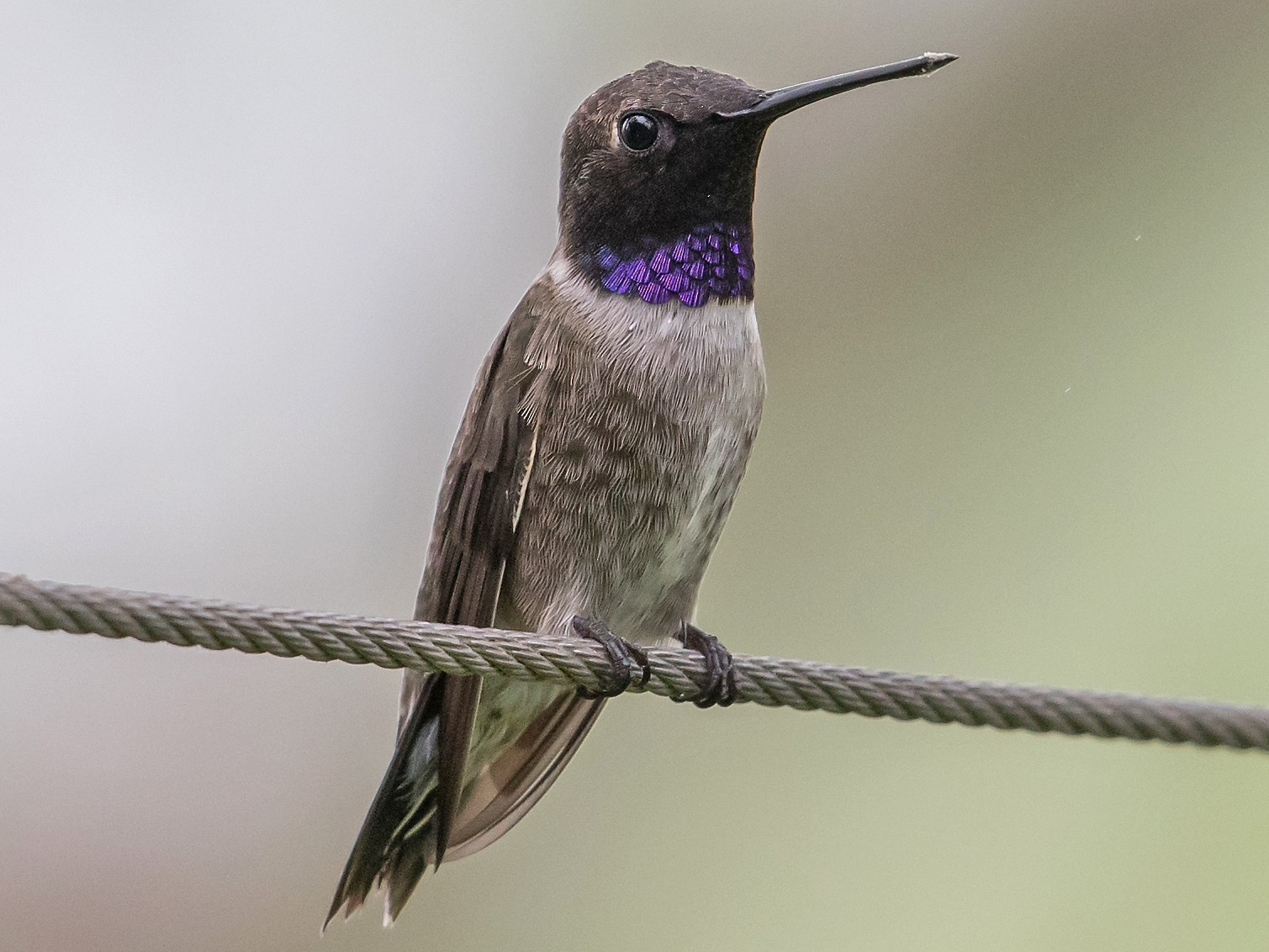 Black-chinned Hummingbird - Mike Stewart
