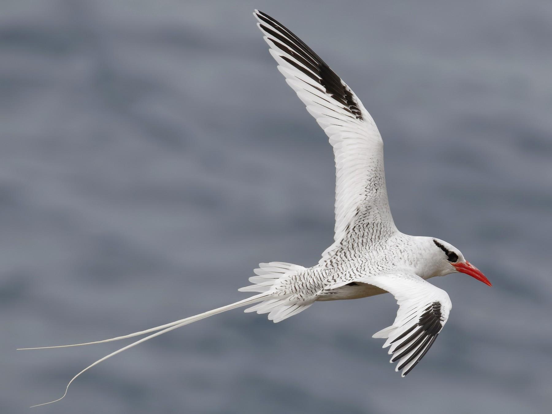 Red-billed Tropicbird - Sharif Uddin