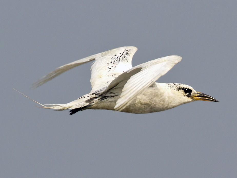Red-tailed Tropicbird - Arka Sarkar