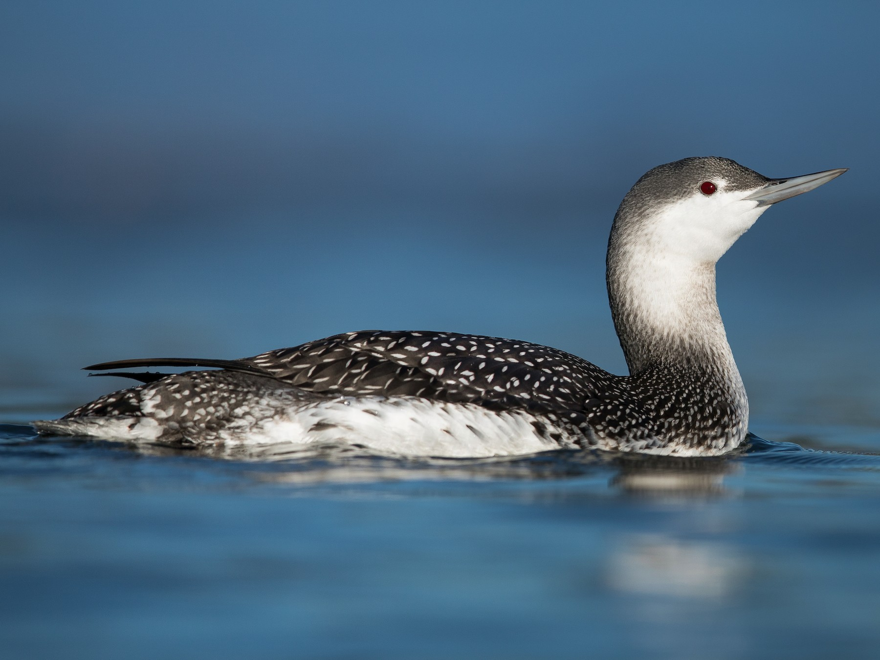 Red-throated Loon - Dorian Anderson