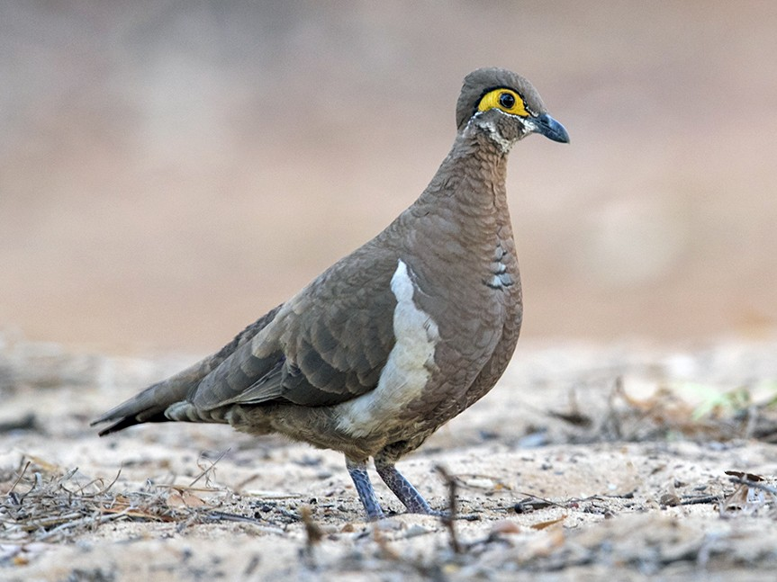 Partridge Pigeon - Laurie Ross | Tracks Birding & Photography Tours