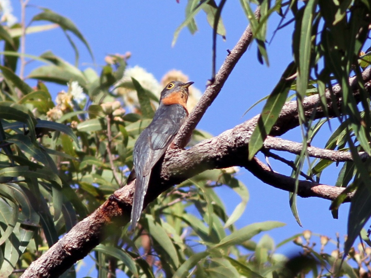 Chestnut-breasted Cuckoo - Chris Wiley