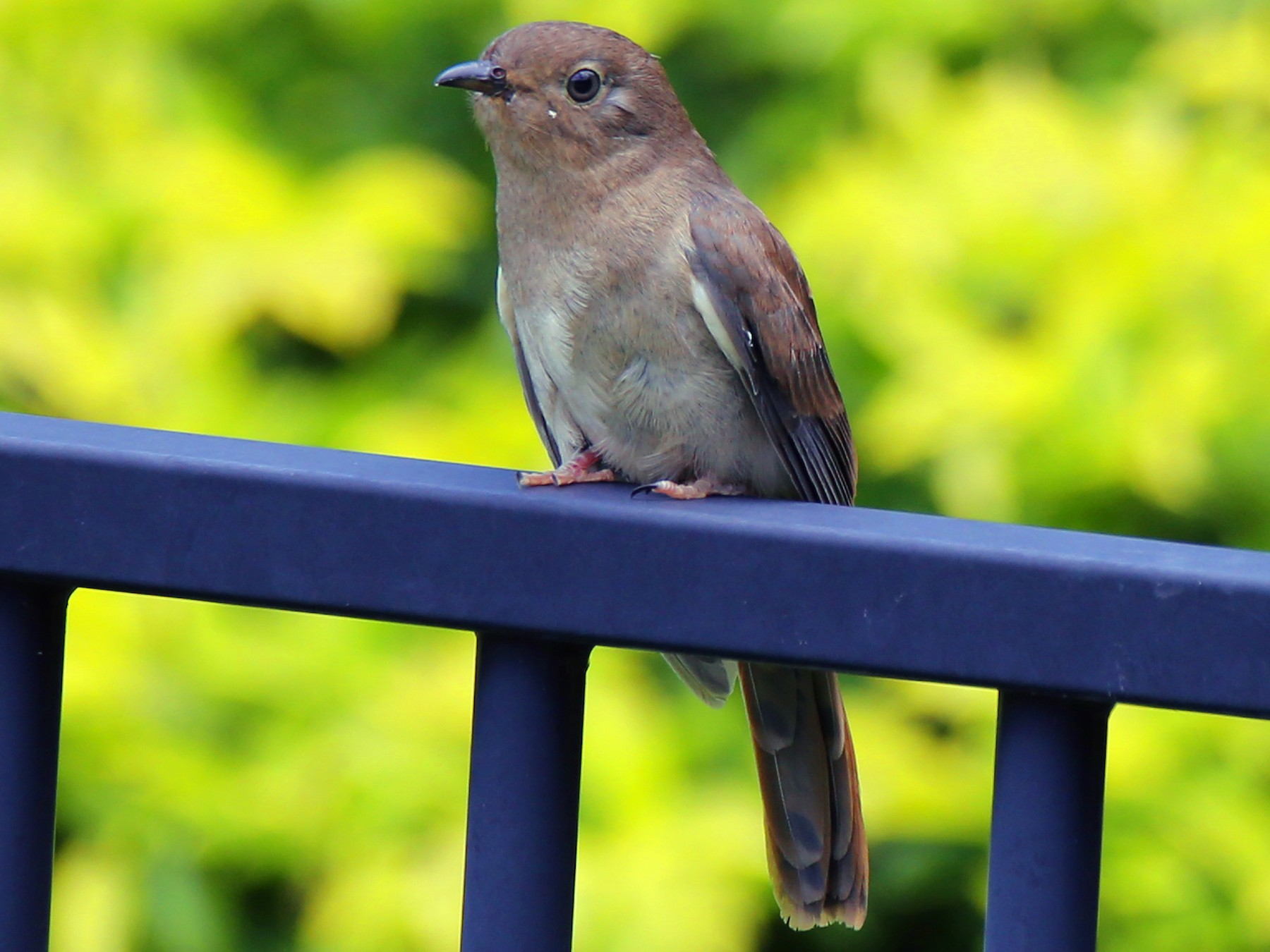 Chestnut-breasted Cuckoo - Doug Herrington || Birdwatching Tropical Australia Tours