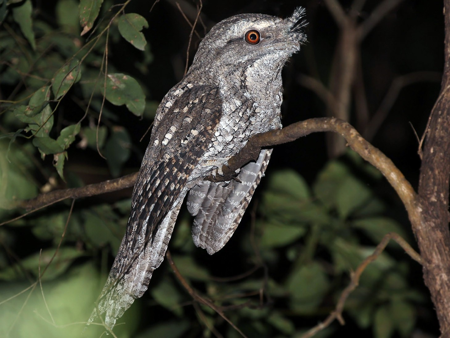 Marbled Frogmouth - Rick Franks