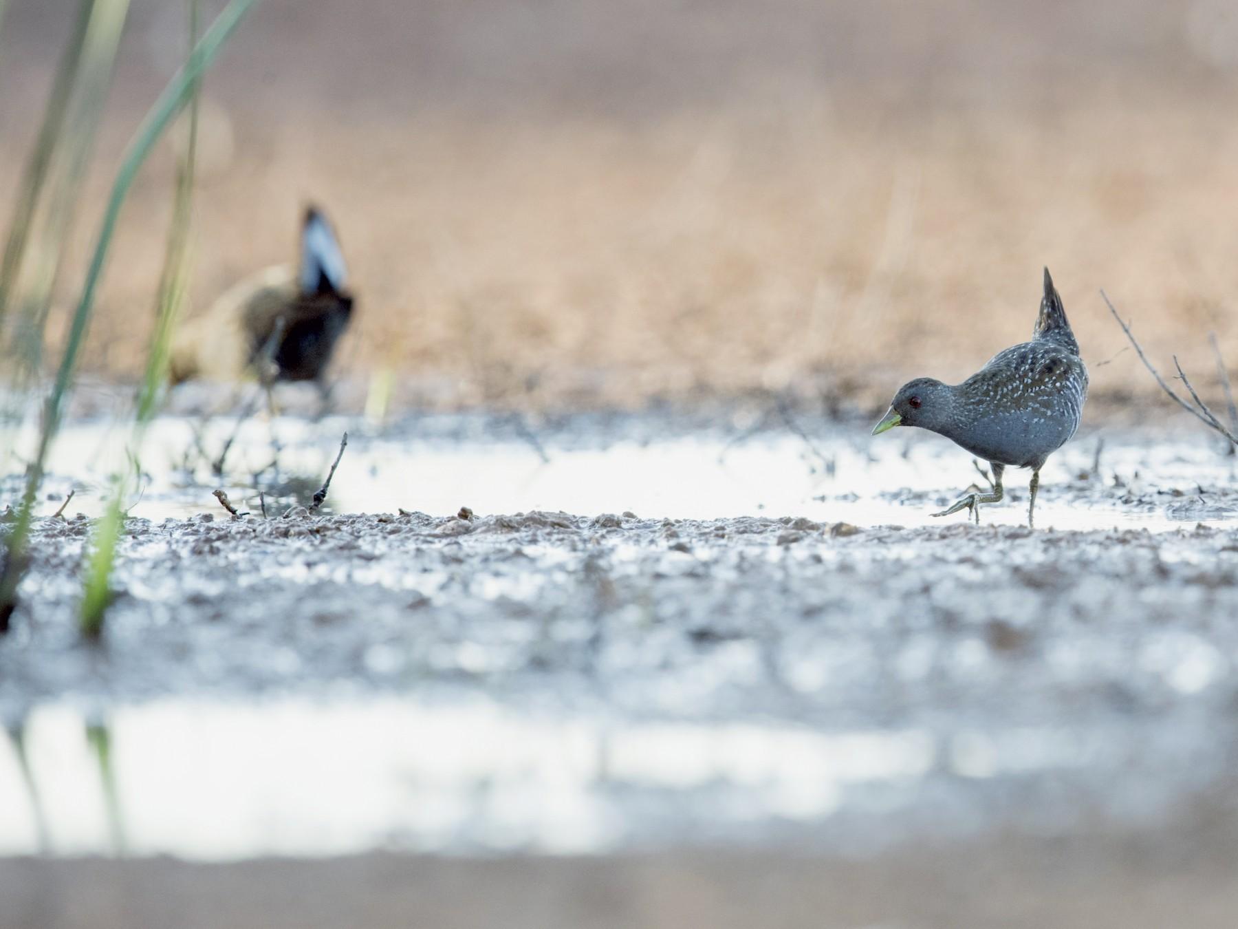 Australian Crake - Laurie Ross | Tracks Birding & Photography Tours