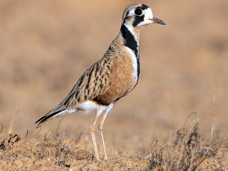 Inland Dotterel - Laurie Ross | Tracks Birding & Photography Tours
