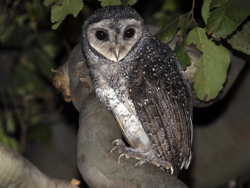 Sooty Owl - Keith & Lindsay Fisher