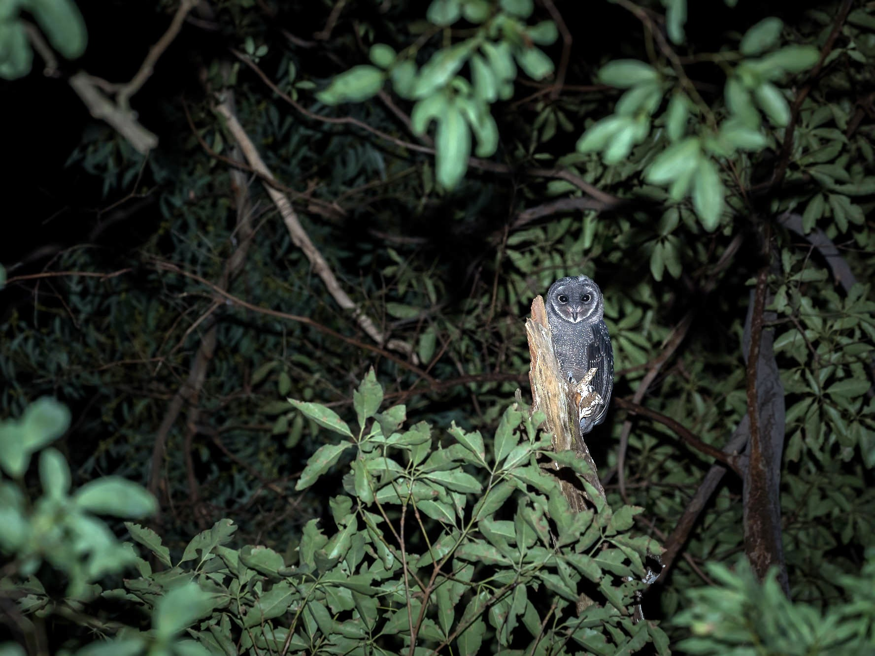 Sooty Owl - Malcolm Graham