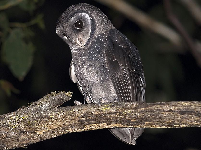 Sooty Owl - Tim Bawden